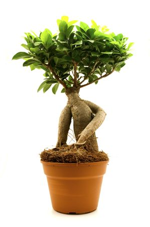 ficus: Ficus ginseng on a white background