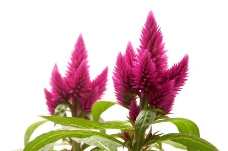 var: Celosia argentea (var Venezuela) on a white background
