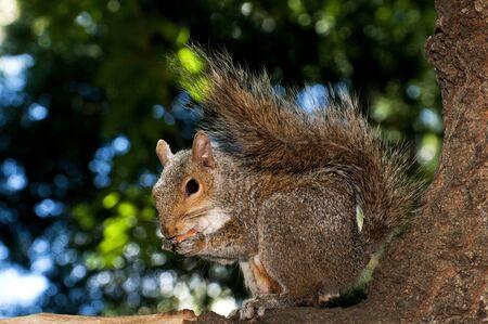 munching: Close up shot of a grey squirrel eating a peanut