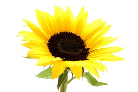 helianthus annuus: Sunflower on a white background