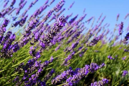 lavandula angustifolia: Close up shot of common lavender