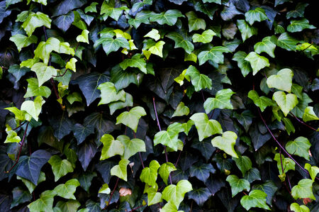 invasive species: Close up shots of a common ivy