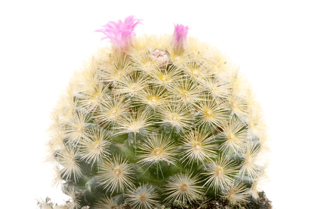 isla: Isla Carmen pincushion cactus on a white background Stock Photo