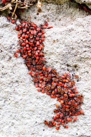 aggregation: Close up of an aggregation of firebugs on a wall(Pyrrhocoris apterus)