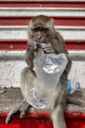 Crab-eating macaque on the stairs of the Batu Caves,  Gombak, Selangor, Malaysia