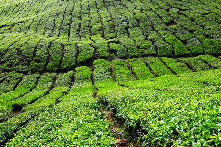 Tea plantations in Cameron Highlands, Pahang, Malaysia Stock Photo