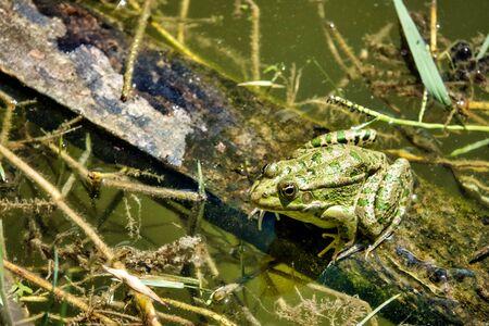 Caucasian parsley frog (Pelodytes caucasicus) in a pond