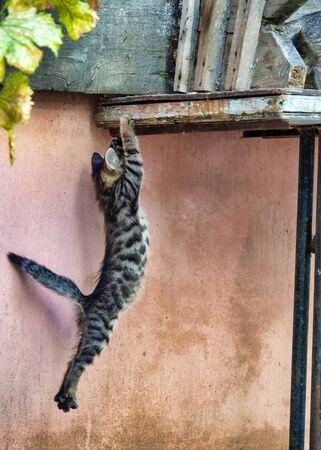 Close up shot of a kitten (felix catus) climbing