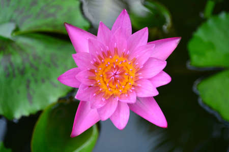 Beautiful pink lotus  photo