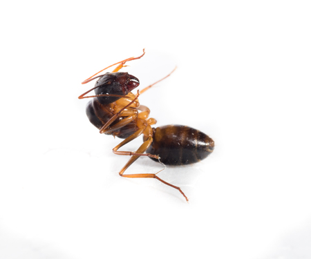 red ant: Red Ant