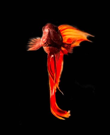 warm water fish: Siamese fighting fish Stock Photo