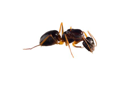 red ant: red ant Stock Photo