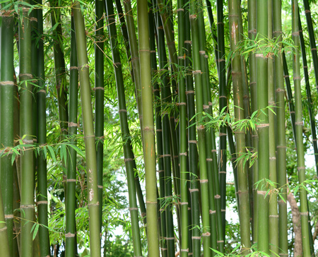 bamboo trees Foto de archivo