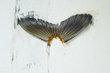 clavados: pasta de cola de pescado en la pared de cemento por el pescador