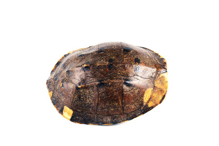 turtle armature on white background