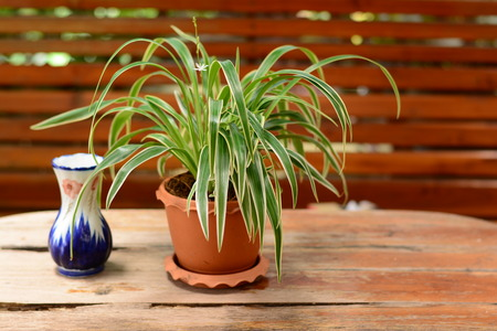 Cholorophytum comosum in pot  puts on table