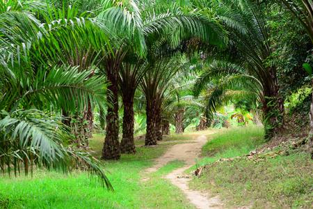 la palmera verde y camino a pie en la tierra de cultivo