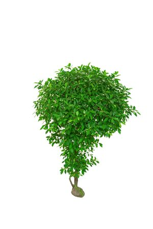 small and green ornamental plant with many fresh leaves on white background isolated