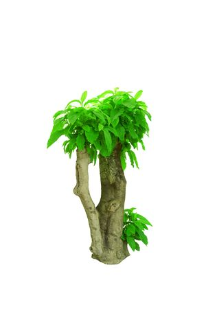 the green fresh leaves of ornamental on cutting stump with grey big trunk  on white background isolated