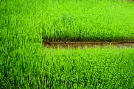 the young green rices sprout on plastic tray at plant nursery Фото со стока