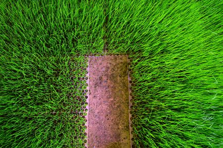 the young green rices sprout on plastic tray at plant nursery with the space of cement ground