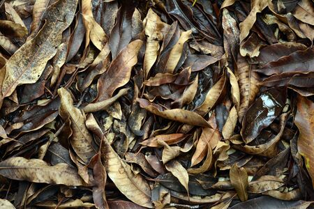 Brown mango leaves that are moistened with moisture after raining Фото со стока