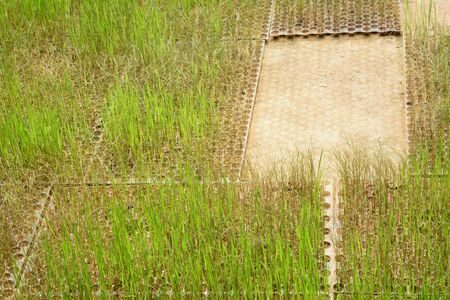 the dry rice sprout  in plastic tray at plant nursery is going die from not getting water Фото со стока