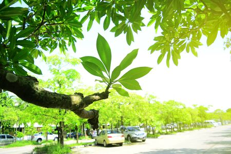 the green leaves of plumeria tree at the parking lot in the city with yellow light on Late morning