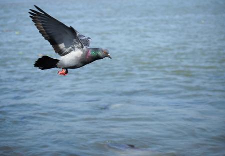 Pigeon flying.