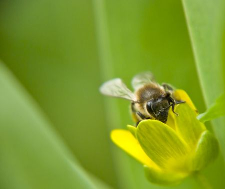 the silence of the world: a bee flies around the first flowers Stock Photo