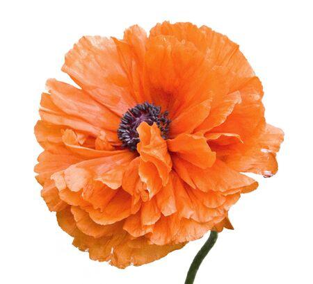 flowering poppy on a white background