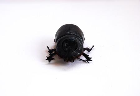 overturn: Coconut rhinoceros beetle