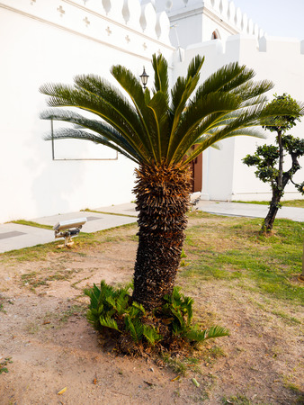 cycas: Sago Plam or Cycas revoluta Thunb Stock Photo