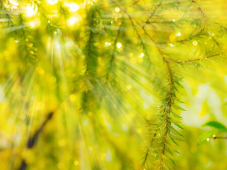 willows: sunlight  leaves of gold willows