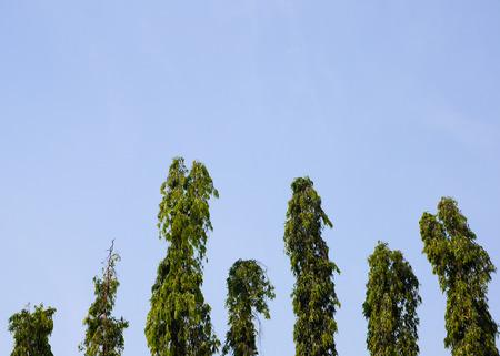 annonaceae: Polyalthia longifolia  in blue sky