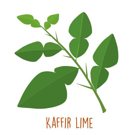 fresh green aromatic kaffir lime leaf vector illustration
