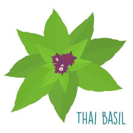 palatable: essential ingredient fresh Thai basil leaf vector illustration Illustration