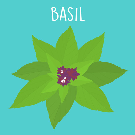 essential ingredient fresh Thai basil leaf vector illustration Illustration