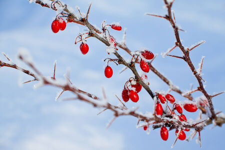Branch of red berries barberry with spines on blue sky background photo