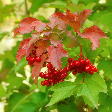 guelder rose berry: Branch of ripe red berries of a guelder-rose on a background of green and red leaves Stock Photo