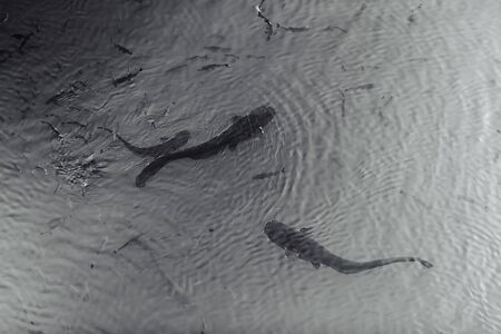 Two giant black catfishes swimming in the pond with other small fishes in Chernobyl Zone radiation, nuclear catastrofe 免版税图像