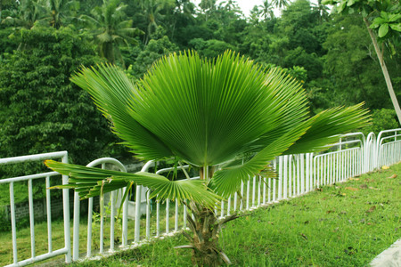 anahaw 나무 필리핀 스톡 콘텐츠