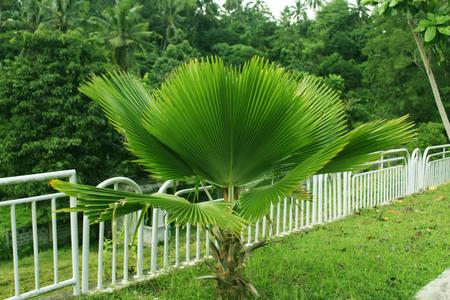 anahaw tree philippines Stock fotó - 90737554