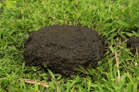 cow poops with fly