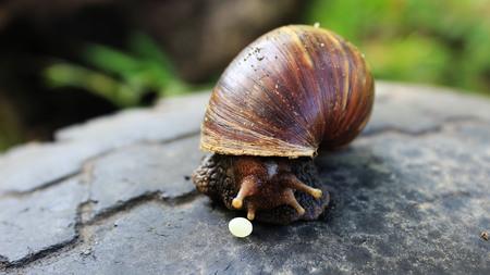 Asian snail giving egg