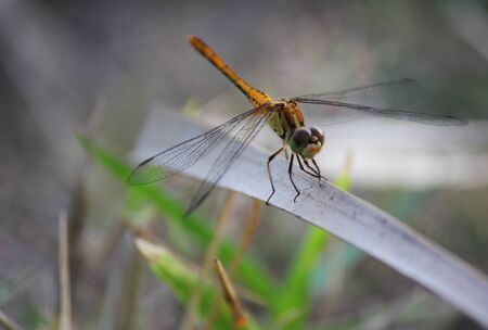 Dragonfly perches on a dried stem