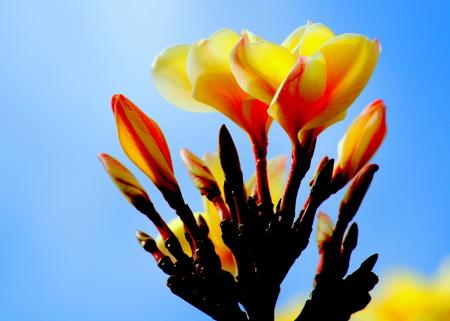 Yellow plumeria Plumeria is the state flower of Saipan, CNMI Stock Photo