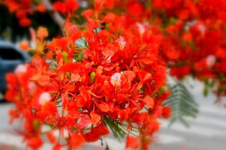 年の初めの部分の中に花の咲く 2 炎木の燃えるような赤い炎木花の花束は、彼らは燃えているように北マリアナ諸島の一見を作る。