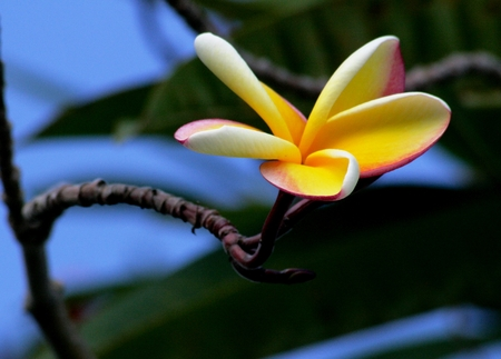 leis: Plumeria Plumeria is the national flower of the island of Saipan in the Northern Mariana Islands Stock Photo
