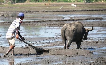 Boer en carabao aan het werk, Filippijnen Een boer ploegt het rijstveld met de karabao, bekend als het lastdier.